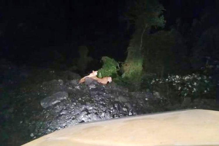 Dua harimau tertangkap kamera petugas BKSDA.