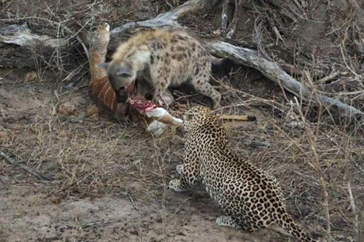 Pemandangan hyena dan macan tutul berbagi mangsa