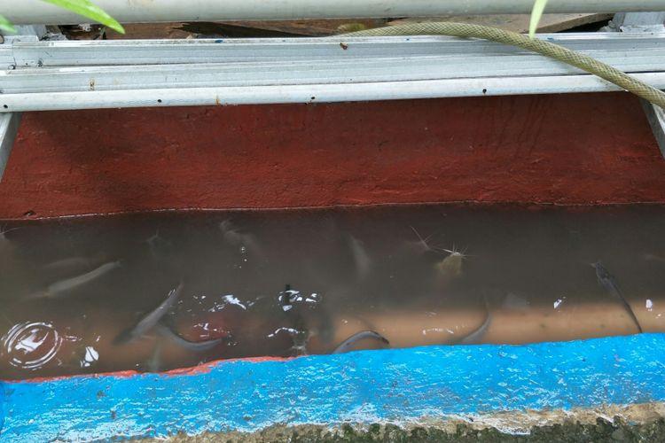 Kolam ikan lele di saluran air di RT 001 RW 001 Kelurahan Pengadegan, Jakarta Selatan, Rabu (25/4/2018).