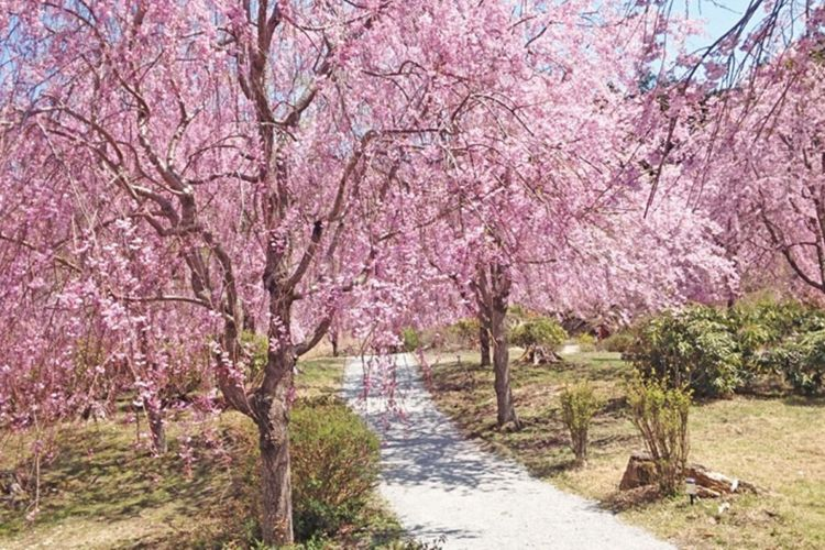 Taman Takami no Sato yang terletak di gunung Yoshino, prefektur Nara, ini berjarak sekitar satu jam setengah dari pusat kota Osaka. Di dataran dengan ketinggian 650 meter dari atas laut ini tumbuh seribu batang shidare zakura.