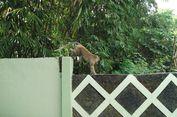 Monyet Ekor Panjang di Kawasan Merapi Mulai Turun Gunung