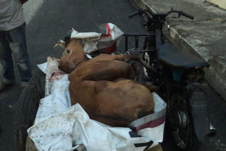 Polisi memperlihatkan barang bukti sapi hasil curian di Mapolsek Julok, Aceh Timur, Sabtu (5/11/2019)