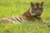 Harimau Sumatera, Predator Buas yang Bantu Hutan Tetap Lestari