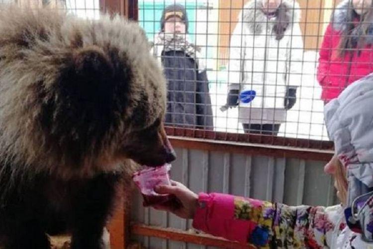 Anak beruang bernama Mashka yang ditolong warga
