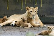 Lepas dari Kandang, Singa di Kebun Binatang Belgia Ditembak Mati