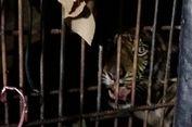 Petugas: Dua Taring Harimau Sumatera Atan Bintang Bikin Bulu Kuduk Merinding...