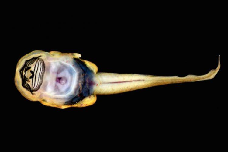 Kecebong dari spesies katak baru Sumatran cascade memiliki bentuk fisik yang unik dengan penghisap di perutnya.