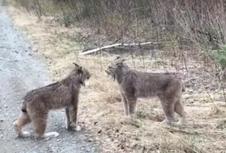 Berjuang untuk Kawin, Dua Lynx Tertangkap Saling Berteriak