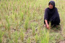 Kekeringan, 150 Hektar Sawah di Aceh Besar Terancam Gagal Panen