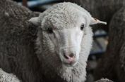 Inseminasi Sukses, Puluhan Domba Hamil dengan Sperma Berumur 50 Tahun