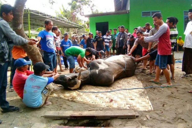 Sapi sumbangan dari Presiden Joko Widodo setelah berhasil di robohkan oleh warga untuk disembelih. Butuh puluhan orang warga untuk merobohkan sapi sumbangan presiden Joko Widodo
