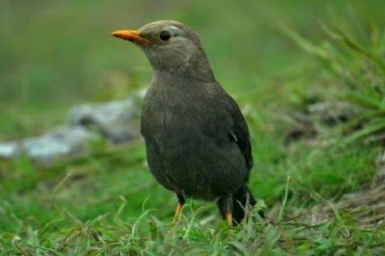 Burung Anis Gunung-Tribunjogja