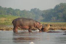 Kuda Nil Selamatkan Antelop yang Hendak Dimangsa Buaya