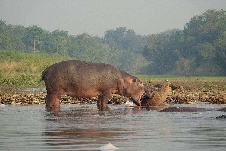 Seekor kuda nil tertangkap kamera menyelamatkan seekor antelop yang nyaris dimangsa buaya di Sungai Nil Putih, Uganda.
