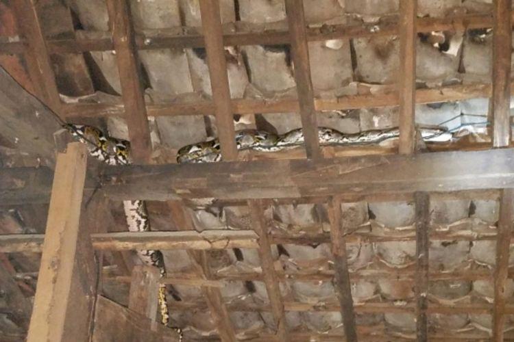 Ular Piton Masuk Di Atap Rumah Wargadusun Nggondel Wetan, Desa Krambilsawit, Kecamatan Saptosari, Gunungkidul, Yogyakarta, pada Jumat (7/12/2018) malam (Dokumentasi Desa Krambilsawit)