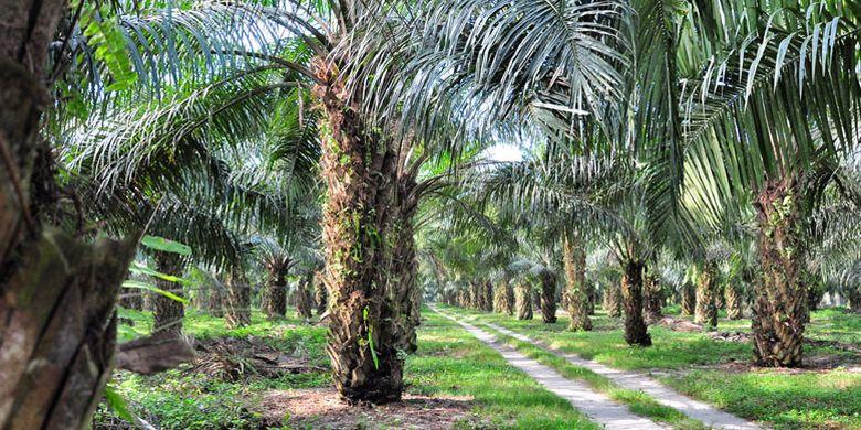 Perkebunan kelapa sawit Adolina milik PT Perkebunan Nusantara IV di Sumatera Utara, Kamis (22/3/2018).