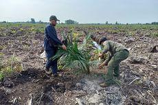 BBKSDA Musnahkan Lebih Kurang 500 Tanaman Sawit Ilegal