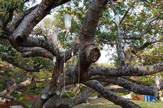 Selamatkan Pohon Berusia 700 Tahun di India, Pemerintah Gunakan Infus