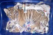 Seekor Anak Harimau Ditemukan Dalam Sebuah Paket di Meksiko