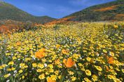 'Superbloom', Mekarnya Kembang Langka di Gurun California