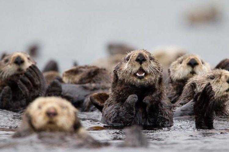 Sekelompok berang-berang laut utara berkumpul di Taman Nasional Katmai, Pulai Kodiak, Alaska.