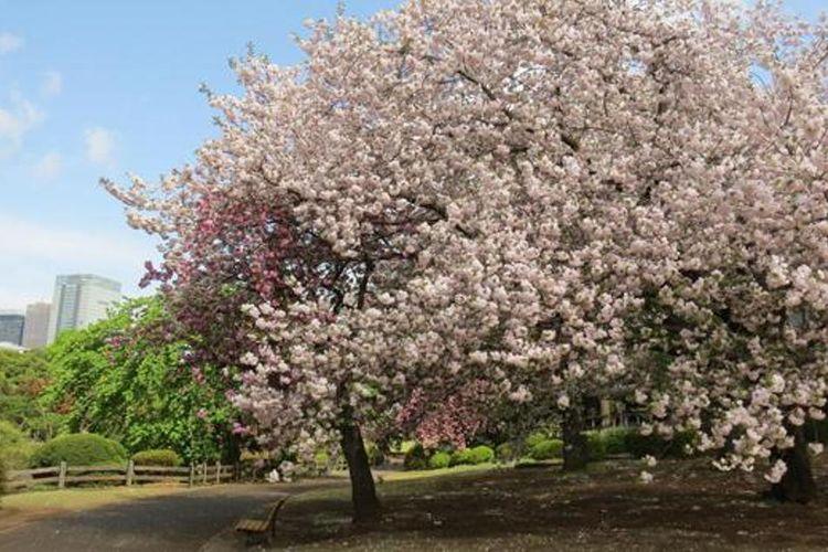 Iluminasi pertama tahun ini dijadwalkan pada pertengahan April.