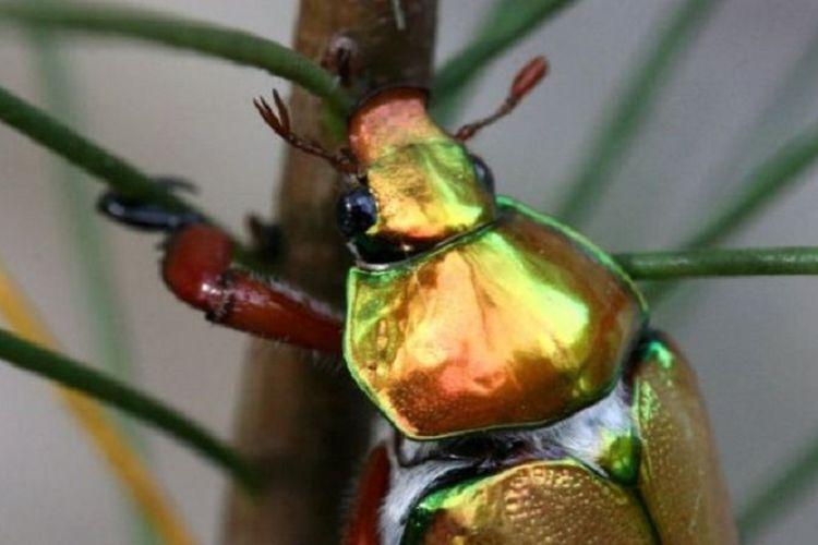 Kumbang yang bersinar, bagi banyak warga Australia, adalah tanda Natal telah tiba