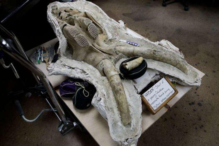 Salah satu fosil tulang tengkorak anak mammoth yang ditemukan di bawah kota Los Angeles, California.
