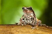 Misterius dan Kecil, Spesies Katak Baru Ditemukan di India