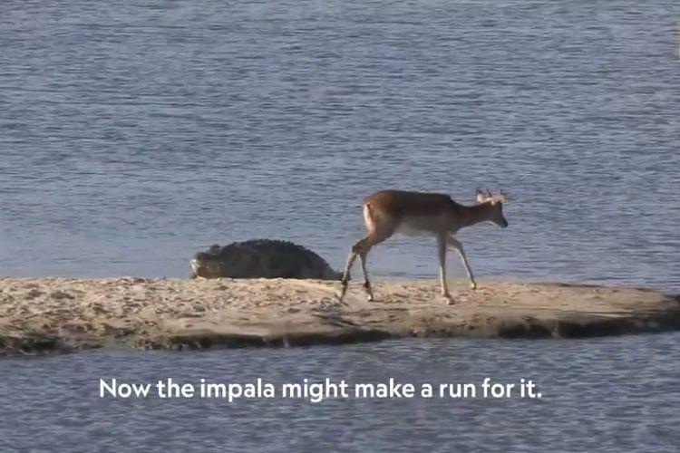 Impala ini hanya punya dua pilihan: Mati kelaparan atau mati diterkam buaya