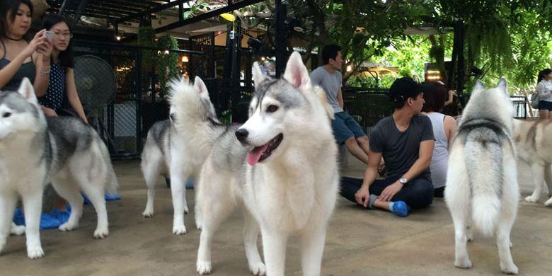 Anjing-anjing husky siberian di pet-cafe bernama TrueLove Neverland di Soi Ari Samphan, Bangkok, Thailand.