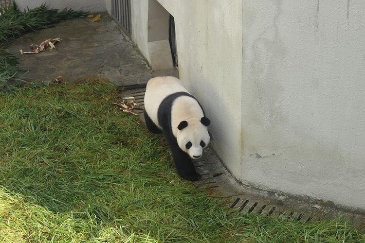Hu Chun, panda betina yang dipinjamkan ke Indonesia, di kandang karantina Wolong Panda Base, China, Selasa (26/9/2017).
