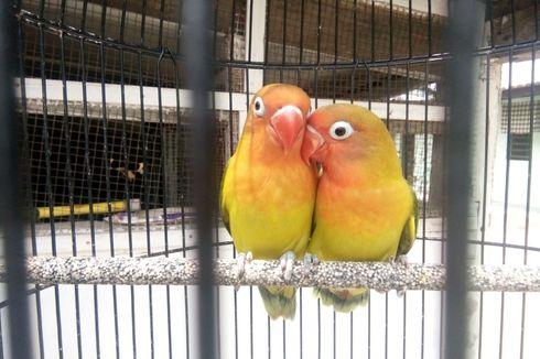Tertarik Memelihara Lovebird? Ketahui Dulu 3 Hal Ini