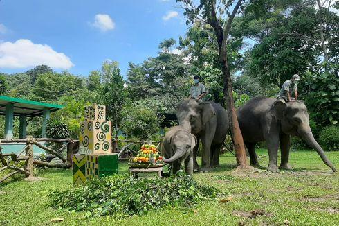 Rayakan Ultah Satu Tahun, Arinta Anak Gajah di GL Zoo Yogya Dapat Hadiah Tumpeng