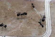 Terekam Kamera, Aksi Heroik Semut Selamatkan Saudaranya