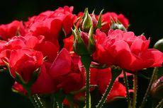 Mengapa Mawar Tidak Berbunga? Ternyata Ini Penyebabnya