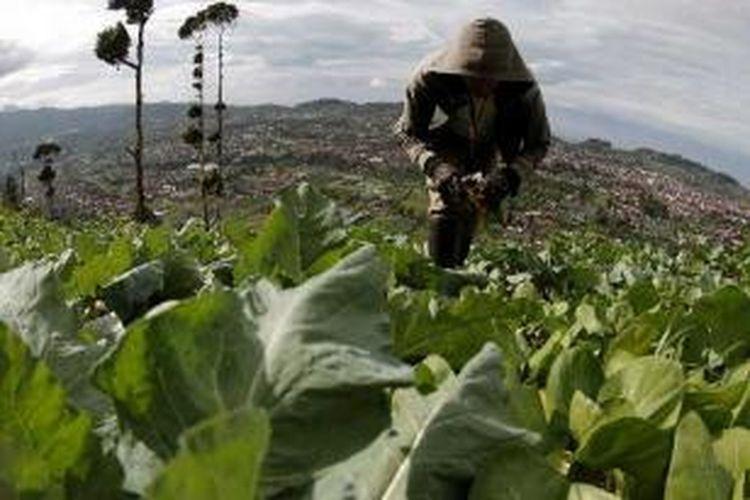 Warga merawat tanaman pecai di lereng Gunung Puteri, Lembang, Bandung, Jawa Barat, Selasa (24/01/2012). Sebagian besar warga di sekitar Patahan Lembang menjadi peternak sapi perah dan petani sayuran.
