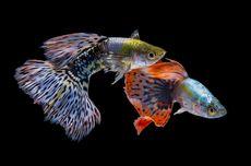 Beda Karakter Ikan Hias Cupang dan Guppy