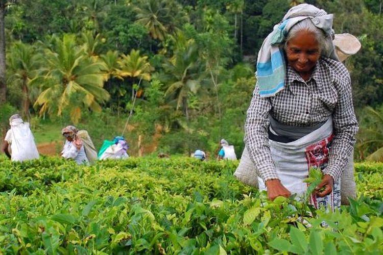 Pemetik teh di kebun teh di Kandy, Sri Lanka.