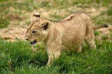 Polisi Perancis Selamatkan Bayi Singa yang Ditaruh di Tempat Tidur Anak