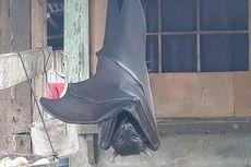 Kelelawar Raksasa Hampir Sebesar Manusia Gegerkan Warga di Filipina