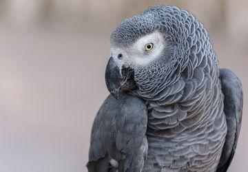 5 Cara Melatih Burung Beo Bernyanyi