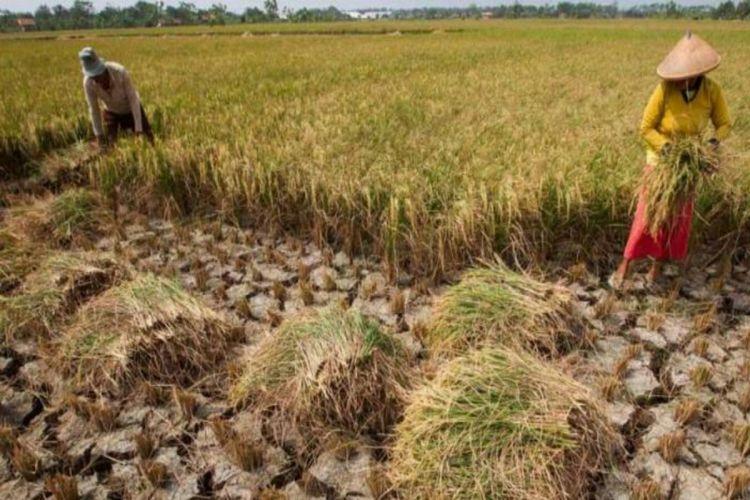 Kemarau juga bisa mengakibatkan kekeringan di daerah persawahan. Alhasil, petani gagal panen.