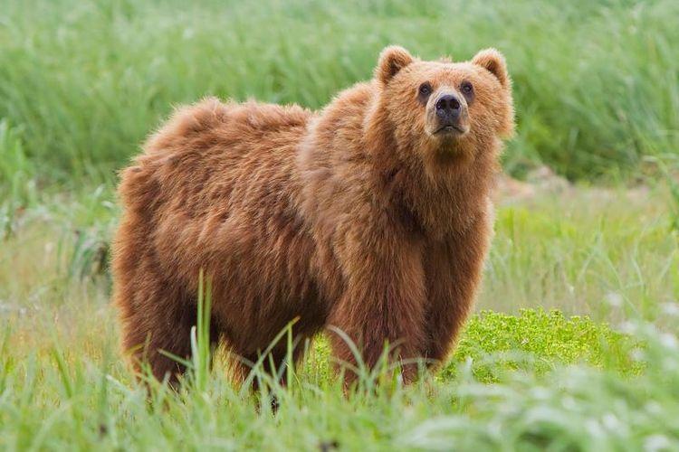 Beruang coklat.