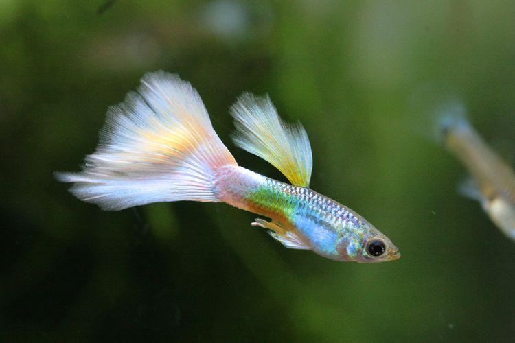 Ilustrasi ikan guppy.