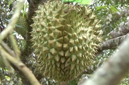 Ada di Relief Candi Borobudur, Ini Sejarah Durian di Nusantara