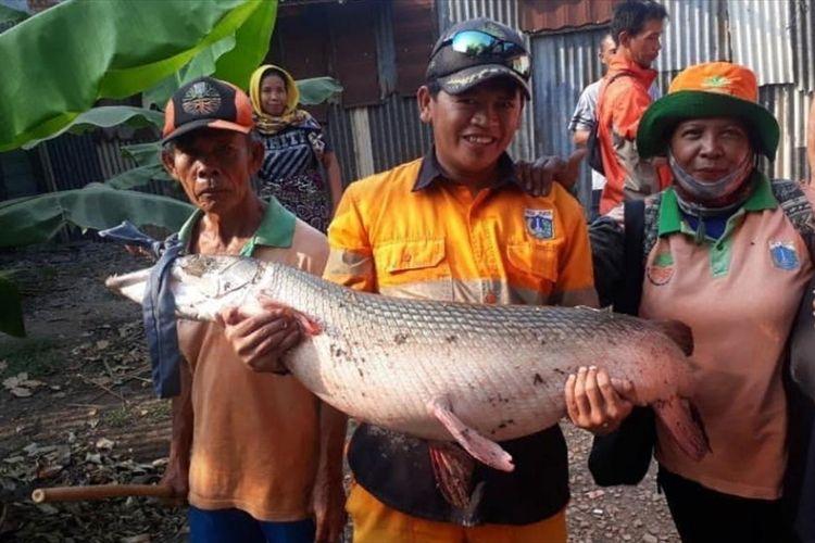 Petugas satpel Unit Pengelola Kawasan (UPK) Badan Air KecamatanCakungDinas Lingkungan Hidup DKI Jakarta berfoto dengan Ikan Aligator yang ditemukan di Setu Rawabadung, Jakarta Timur, Selasa (2/7/2019).