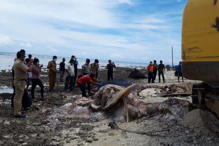 Proses penguburan bangkai paus biru yang terdampar di Pantai Desa Jiku Merasa, Kecamatan Lilialy, Kabupaten Buru, Maluku, dilakukan dengan menggunakan alat berat, Senin (14/1/2019).