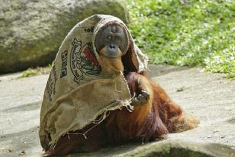 Orang utan Sumatera bernama Satria ini menemukan cara unik untuk mengurangi sengatan panas yang menerpa tubuhnya.