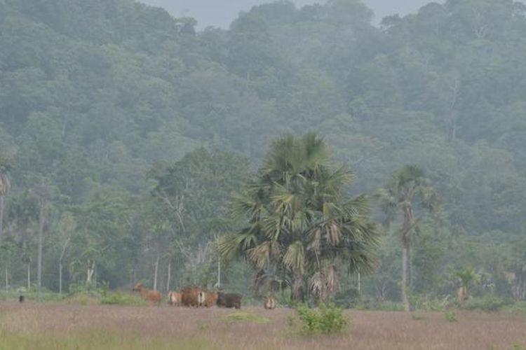 Gerombolan Banteng berkeliaran di Padang Penggembalaan Sadengan, Taman Nasional Alas Purwo, Banyuwangi, Jawa Timur.